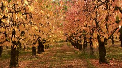 2017-10-19 : Herbst (andreas.thomet) Tags: kirschen