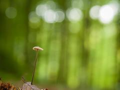 Mushroom with anorexia ? (de_frakke) Tags: mushroom paddo paddenstoel bos macro slank wood bokeh