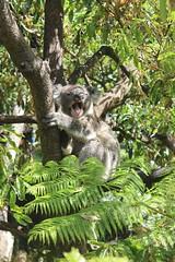 Koala 🐨 / Taronga Zoo