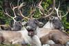 2017-10-11-Hannover-1092 (BZD1) Tags: ren rendier waldkaribu reindeer rangifertarandus rangiferini capreolinae cervidae artiodactyla mammal animal natuur nature zoohanover