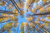 Aspen Near Fallen Leaf Lake (Marc Crumpler (Ilikethenight)) Tags: landscapes usa california laketahoe fall autumn trees aspen aspentrees marccrumpler canon canon6d 6d 24105mmf4lisusm fallenleaflake