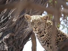 PA012194 Leopard (Joanna P Dale) Tags: kgalagaditransfrontierpark tweerivieren olympus omdem1mkii panasonic100400 africanleopard leopard