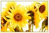 Yellow (Daniela 59) Tags: 7dwf fridaythemeflora flower sunflower sunny bright nature plant flora danielaruppel