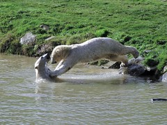 """The moment of impact 😂 (Nissan and Nobby) (LadyRaptor) Tags: yorkshirewildlifepark yorkshire wildlife park doncaster ywp nature outdoors autumn sun sunny sunshine water droplets splash splashing lake ripples reflection grass rocks play playing fight fighting wrestle wrestling sparring dive diving jumping fun silly """"best friends"""" bffs besties friends friendly cute animal animals predator carnivore caniformia ursidae polarbear polarbears male males polar bear bears ursusmaritimus projectpolar nissan nobby"""