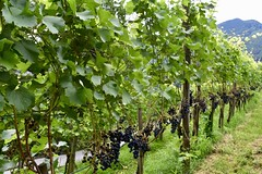 Wijngaarden rondom Burg Gutenberg in Balzers