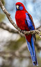 Crimson Rosella (Platycercus elegans) (NigelJE) Tags: crimsonrosella rosella platycercus platycercuselegans redlowry pennantsparakeet campbellparakeet bluemountainparrot mountainparrot bluemountainlowry mountainlowry lowry psittaculidae parrot parakeet nigelje lamingtonnationalpark lamington oreillys queensland qld