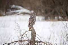 Boreal Sentry... (DTT67) Tags: greatgrayowl grayowl owl wildlife nature borealforest nationalgeographic guarding canon 1dxmkii 500mmii 14xiii perched