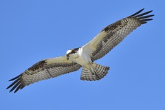 Osprey in Flight (036780) (Mike S Perkins) Tags: osprey flight flying gliding blue sky gulfofmexico gulfcoast ftmorgan