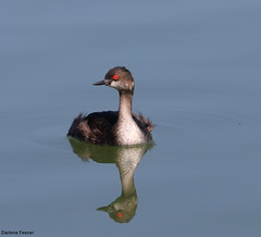 IMG_0978 (Bird Searcher) Tags: eared grebe hank you
