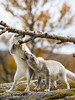 Playmates (CecilieSonstebyPhotography) Tags: arctic bokeh moss fox birch endangered closeup alopexlagopus canon fall september animal norway trees markiii whitefox cute tree polarfox playmates canon5dmarkiii snowfox adorable animals paws høst autumn langedrag specanimal ngc
