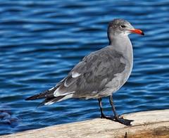 Heermann's Gull (richmondbrian) Tags: dncb whidbey 201742 hermanns gull