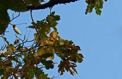 5733 Oak tree canopy. (Andy - Busyyyyyyyyy) Tags: aaa aberlleiniog autumncolour bbb bluesky canopy ccc leaves lll oaktree ooo sss ttt