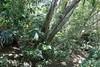 Coachwood (Ceratopetalum apetalum) (Poytr) Tags: afp nswrfp qrfp warmtemperatearf coachwood ceratopetalumapetalum ceratopetalum cunoniaceae narrabeen narrabeenlakes middlecreek sydneyrainforest sydneyaustralia cabbagetreepalm livistonaaustralis livistona vrfp wakehurstparkway wood forest tree rainforest warmtemperaterainforest oxfordfalls arecaceae