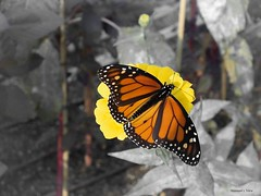 Happy Halloween (Hannah Underhill) Tags: insect monarch gardening wildlife memphis thedixongalleryandgardens nature autumn closeup macro