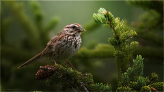 Song Sparrow - Explored Oct.30, 2017 (Chris Lue Shing) Tags: nikond7100 tamronsp150600mmf563divcusd bird aurora newmarket nokiidaatrail mckenziemarsh tree summer nature ontario canada songsparrow ©chrislueshing nikon tamron 150600 150600mm animal d7100 explore explored