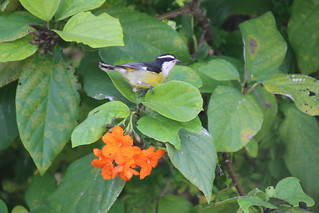 Bananaquit at Private Beach  - Cozumel, Mexico Excursion Pictures - Amazing Eco Park Expedition: Beach Break & Lunch (Empress of the Seas - October 14, 2017)