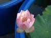 Nelumbo nucifera 'Boli Gongzhu' Lotus Wahgarden Thailand 9 (Klong15 Waterlily) Tags: nelumbo nelumbonucifera lotus thaillotus chainalotus pinklotus pond lanscap flower lotusflower