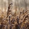 A Taste of Autumn II (Johan Konz) Tags: autumn reed field autumncolors outdoor landscape polder purmer oudelandsdijkje purmerend waterland netherlands serene dof depthoffield bokeh nikon d90 macro