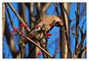 Bohemian Waxwing (Swede66) Tags: bohemianwaxwing bird breakfast rowanberry birding backyard sal70400g