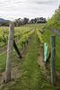 MONA Vineyards (erikogan) Tags: australia museumofoldandnewart tasmania monamuseum vineyard