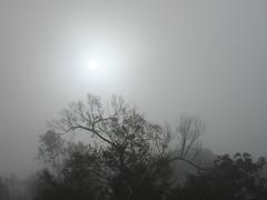 Sun Burning Off The Fog. (dccradio) Tags: lumberton nc northcarolina robesoncounty fog foggy morning morningfog goodmorning nature natural grey gray tree trees outdoors outside plant foliage sun sunshine sunlight project365 photooftheday photo365