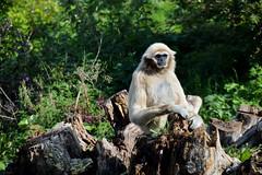 Lar Gibbon (Hylobates lar) (Seventh Heaven Photography) Tags: lar gibbon hylobateslar hylobates animal mammal primate whitehanded white handed nikond3200 chester zoo cheshire england endangered ape