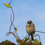 Blurry Sparrow, Focused Leaf thumbnail