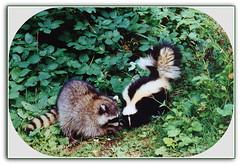 Playmates! (FernShade) Tags: vancouver stanleypark lostlagoon raccoon procyonlotor skunk familymephitidae animal nature wildlife crepuscularanimals