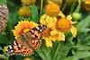 Intense colors - Nebraska (stevelamb007) Tags: nebraska valentine butterfly moth flowers nature garden stevelamb nikon d7200 nikkor 18200mmvr