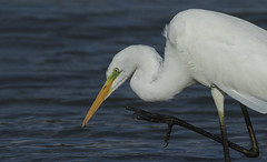 Great White Egret - About to grab some lunch! (Ann and Chris) Tags: greatwhiteegret rutlandwater nature wildlife wild water feathers bird beak birdphotography avian awesome