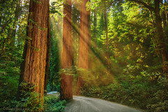 "Misty Redwoods (IronRodArt - Royce Bair (""Star Shooter"")) Tags: redwoods redwood redwoodtrees redwoodforest mist misty road sunrays sunburst rays sunlight california trees tree forest sunshine"