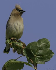 2I1A3343a (lfalterbauer) Tags: cedarwaxwing canon 7dmarkii peacevalleypark lakegalena wildlife outdoor nature newbritain birdwatcher flickr yahoo ornithology avian