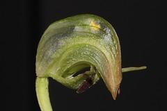 Pterostylis nutans (andreas lambrianides) Tags: pterostylisnutans orchidaceae pterostylisnutansvarnutans noddinggreenhood parrotsbeakorchid australianflora australiannativeplants australianorchids terrestrialorchids qld nsw vic tas sa