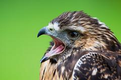 Bussard (oliverhoffmann77) Tags: tier animal vogel bird greifvolgel crossbird birdofpray weiskopfseeadler porträt bussard buteo