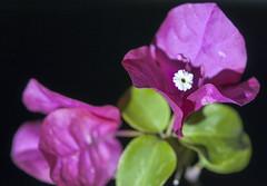 Santa rita - Bougainvillea glabra (Cristian Ciaffone) Tags: micro nikkor 105mm f28