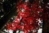 Under dark cedars (DanÅke Carlsson) Tags: japan japanese autumn fall red maple dark cedar cedars forest bright colors