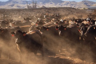 Restless cattle at a California farm