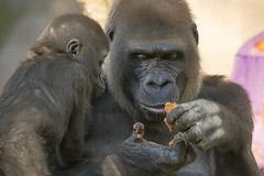 One-year-old Gorilla Shares Her Birthday Party with the World's Second Oldest Gorilla (San Diego Zoo Global) Tags: gorillas gorilla primates apes sandiegozoosafaripark safaripark animals cuteanimals babyanimals animalbirthdays endextinction