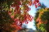 Bokehliciously red (PeterThoeny) Tags: cupertino sanjose california siliconvalley sanfranciscobay sanfranciscobayarea tree leave fall autumn autumncolor color red blur depthoffield shallowdepthoffield dof bokeh sony sonya7 a7 a7ii a7mii alpha7mii ilce7m2 fullframe vintagelens dreamlens canon50mmf095 f095 canon 1xp raw photomatix hdr qualityhdr qualityhdrphotography sky fav200
