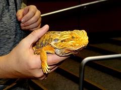 Dragon in hand (EcoSnake) Tags: bearded dragonpogona vitticeps lizards education hands