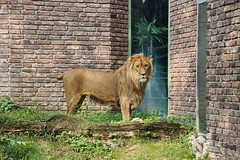 Zoo Duisburg (Magdeburg) Tags: zoo duisburg ruhrgebiet ruhrpott zooduisburg afrikanischer löwe african lion afrikanischerlöwe africanlion
