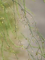 Cascade végétale * (Titole) Tags: plant titole nicolefaton closeup asparagusofficinalis