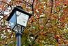 "La stagione dei cachi - ""Diospyros kaki"" (boisderose) Tags: autumn autunno alberodicachi persimmons diospyroskaki lampione lamp parcodisangiovanni trieste ottobre october 2017 boisderose frutti"