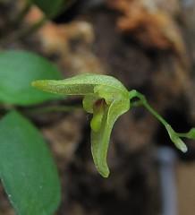 Pabstiella sp var. TAP/SP (Micro-orquídeas Roberto Martins) Tags: pabstiella sp var tapsp pleurothallis pleurothallidenae epifitas micro microorquídeas mini orquídeas exposição orquidáceas galeria robertomicroorquideas robertoorquideas robertomicros permuta venda de coleção