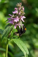Hummel (planetvielfalt) Tags: apidae auenwald hymenoptera schkeuditz sachsen deutschland