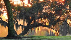 Live Oak Sunrise (Jim Mullhaupt) Tags: spanishmoss liveoak trees moss sunrise sunup dawn sun morning sky clouds color red orange pink yellow blue tree palm silhouette weather tropical exotic wallpaper landscape bradenton florida manateecounty nikon coolpix p900 jimmullhaupt fall autumn halloween photo flickr geographic picture pictures camera snapshot photography nikoncoolpixp900 nikonp900 coolpixp900