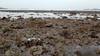 Fluted giant clam (Tridacna squamosa) (wildsingapore) Tags: pulau tekukor mollusca bivalvia tridacnidae tridacna squamosa shore singapore marine intertidal seashore marinelife nature wildlife underwater wildsingapore