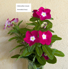 Periwinkle-Catharanthus roseusis_ 20170922_a