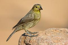Bronzed Cowbird (F) (Eric Gofreed) Tags: arizona bronzedcowbird cowbird elephantheadpond santacruzcounty