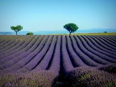 Valensole di mattina (blanka309bb) Tags: lavanda provence france valensole campo fiori violet